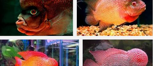 Inilah Jenis Ikan Hias Louhan Termahal dan Terbesar Sedunia