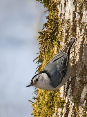 Photo of White-breasted Nuthatch crawling down tree trunk