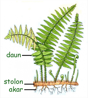 Ciri Ciri Tumbuhan Paku (Pteridophyta) dan Contoh Tumbuhan Paku (Pteridophyta)Struktur Tubuh Tumbuhan Paku