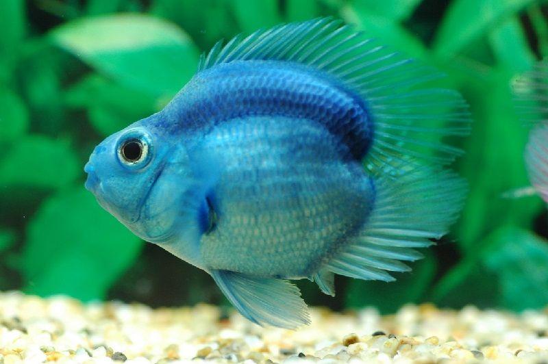Gambar, Foto Harga Ikan Parrot, Asal Usul Dan Cara Merawatnya