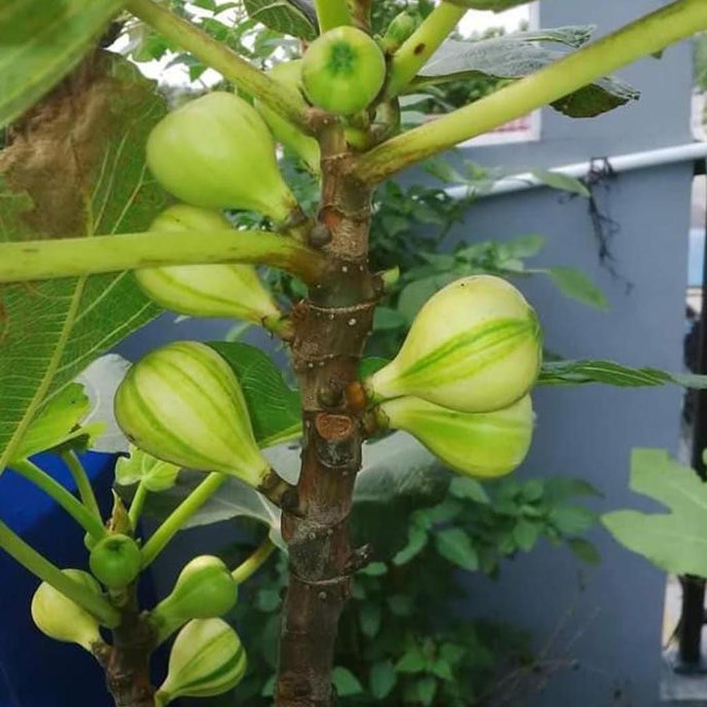 bibit buah Bibit Cuttingan bahan stek buah tin panache tiger belang tanaman hidup Magelang