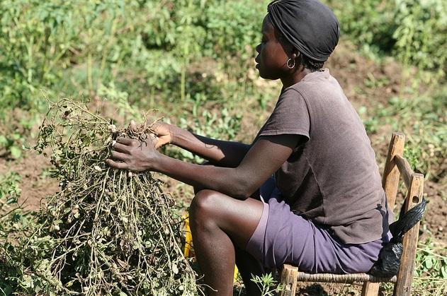 Farming peanuts in Zambia Africa