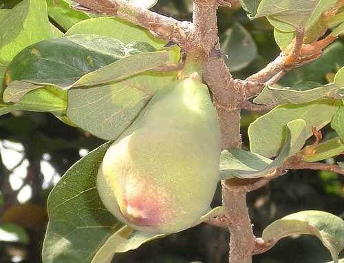 CÂY XỘP (Vương Bất Lưu Hành) - Ficus pumila - Nguyên liệu làm Thuốc Bổ, Thuốc Bồi Dưỡng