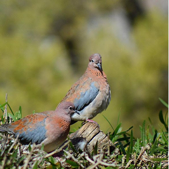 laughing dove breeding