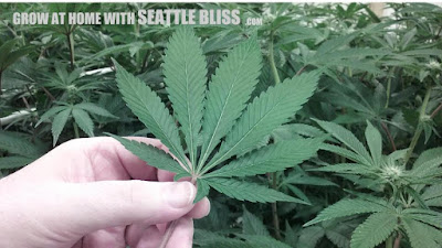 Grow at home with Seattle Bliss