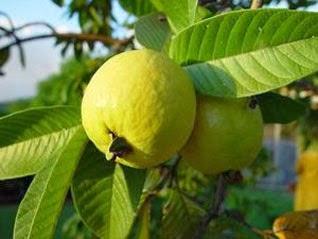 Selain buahnya yang kaya banyak sekali vitamin ternyata  Manfaat Daun Jambu Biji Sebagai Obat Tradisional - Jambu Biji