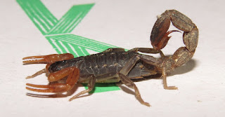 unknown scorpion