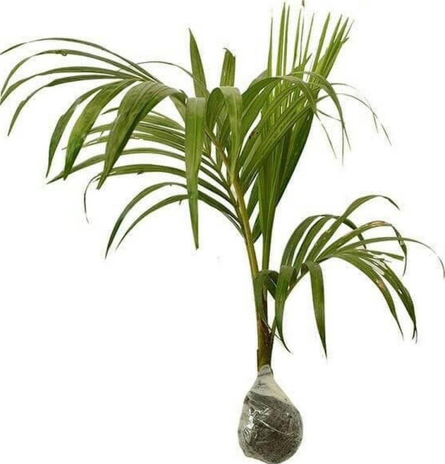 Bibit Tanaman Pohon Pinang Palem Kuning Tanaman Pohon Hias Palu