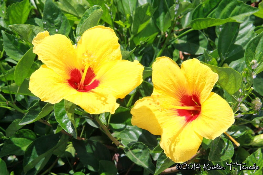 Hawaii Hibiscus @ Elizabeth, Marie, and Me