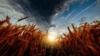 Wheat Harvest - Photo by Tom Hauk on Unsplash