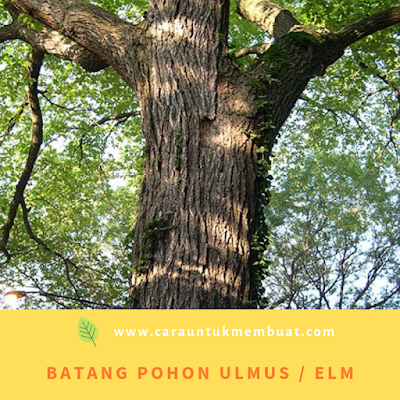 Batang Pohon Ulmus
