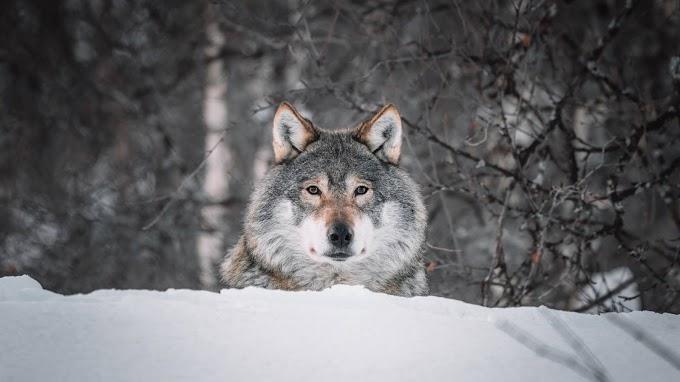 Lobo Selvagem na Neve para Plano de Fundo