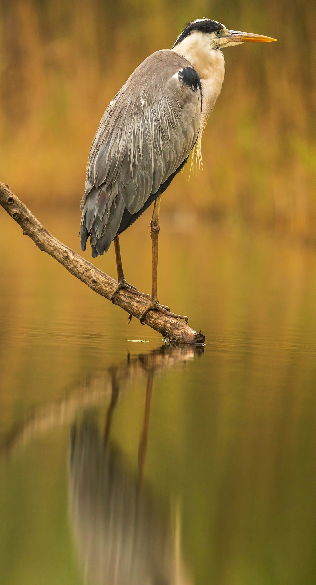 Heron reflection.