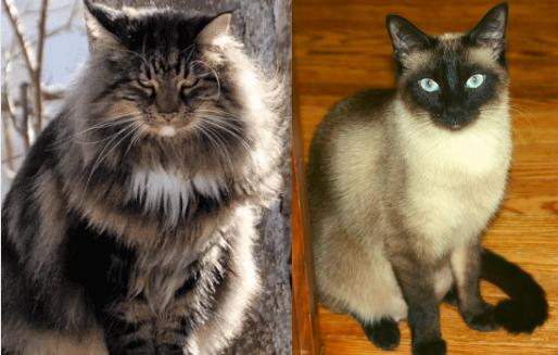 le chat norvégien vs le siamois