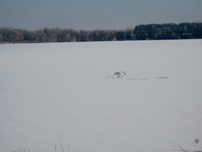 Bone Lake, single swan on the snow
