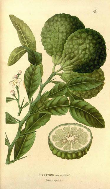 Kaffir lime (Citrus hystrix), czyli limonka kaffir, tajska limonka, skrzydła anioła, azjatycki tajski liść laurowy, przyprawy azjatyckie. Opis, wygląd, nazwy, pokrój, uprawa, jak uparawiać i hodować limonkę kaffir w domu w doniczce, podlewanie, jak podlewać, jak przesadzać, jaka ziemia. Skąd pochodzi papeda, historia, wysokość, opis. Jak rozmnażać i pielęgnować sadzonką limonki w uprawie domowej.