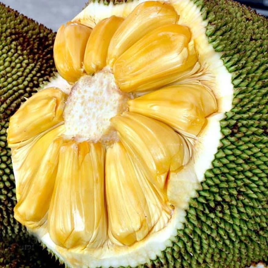 Bibit Tanaman Buah Nangka Madu Jayapura