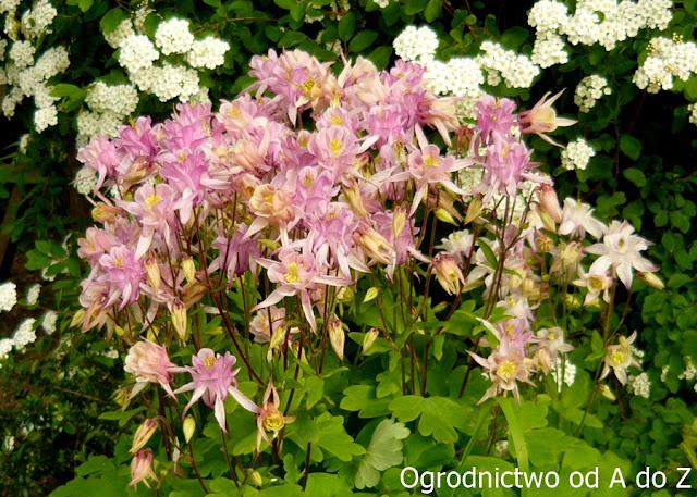 Orliki- pełnia kwitnienia