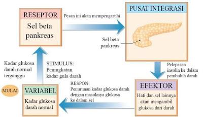 Mekanisme umpan balik negatif yang mengaturkadar glukosa darah