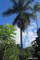 Royal palm tree - Greenwell  Coffee Farms, Big Island, HI
