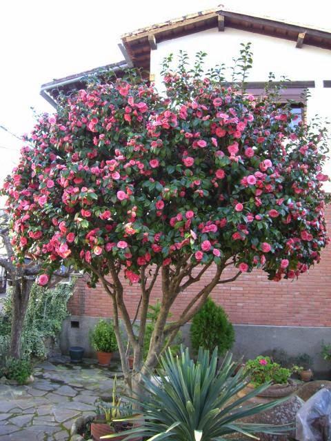 Arbustos con flores para jardines ornamentales verde jard n for Jardines con arboles y arbustos