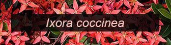 Ixora coccinea