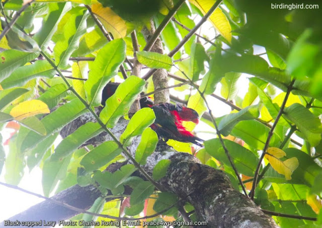 Black-capped lory in Klasow valley of Malagufuk village