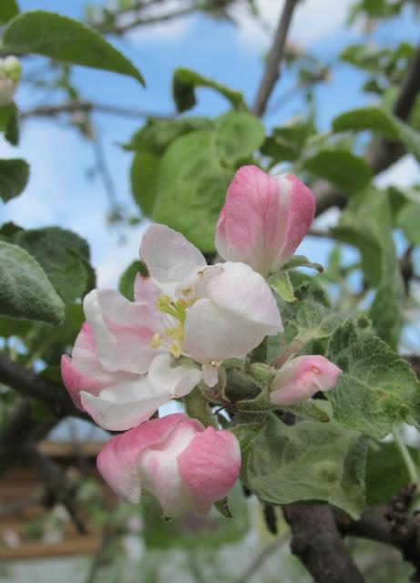 бутоны яблоневого цвета