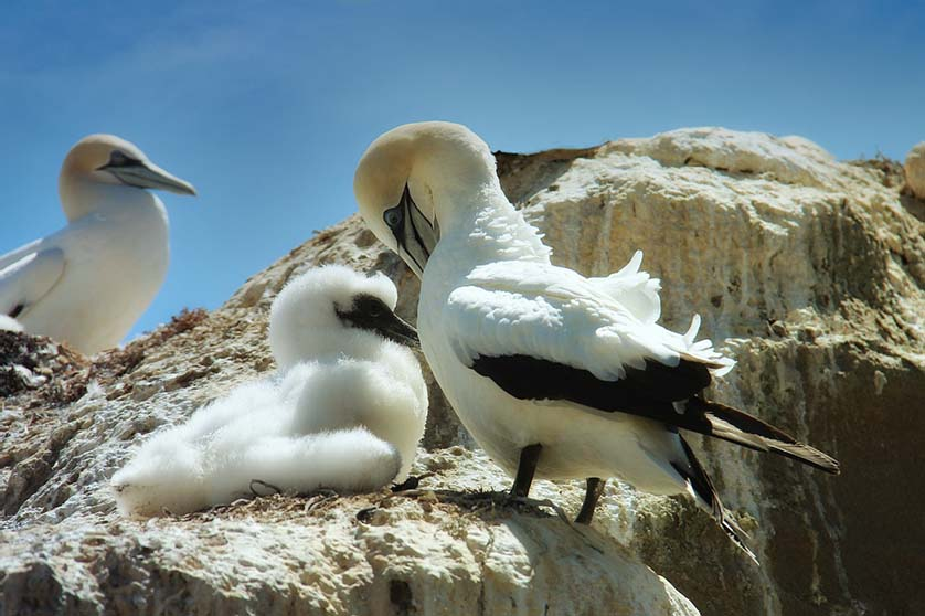 Gannets at Cape Kidnappers, Hawkes Bay, New Zealand.