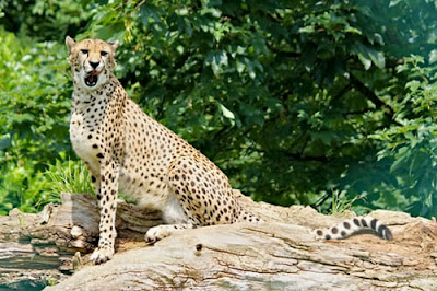 Cheetah photos and HD wallpaper 2020