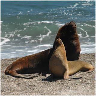California sea lions predators or stellar sea lions become protected animal. They are protected from their predators such as human, shark, and killer whale. How do sea lions protect themselves from the predator become attractive issued in animal live especially in California.