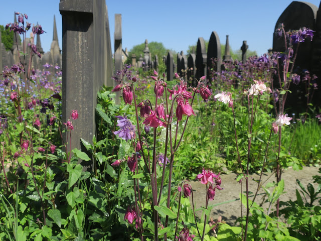 Lister Lane Cemetery awash with aquilegia, May 31st 2021