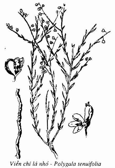 Hình vẽ cây VIỄN CHÍ - Polygala sp - Nguyên liệu làm thuốc Chữa Ho Hen
