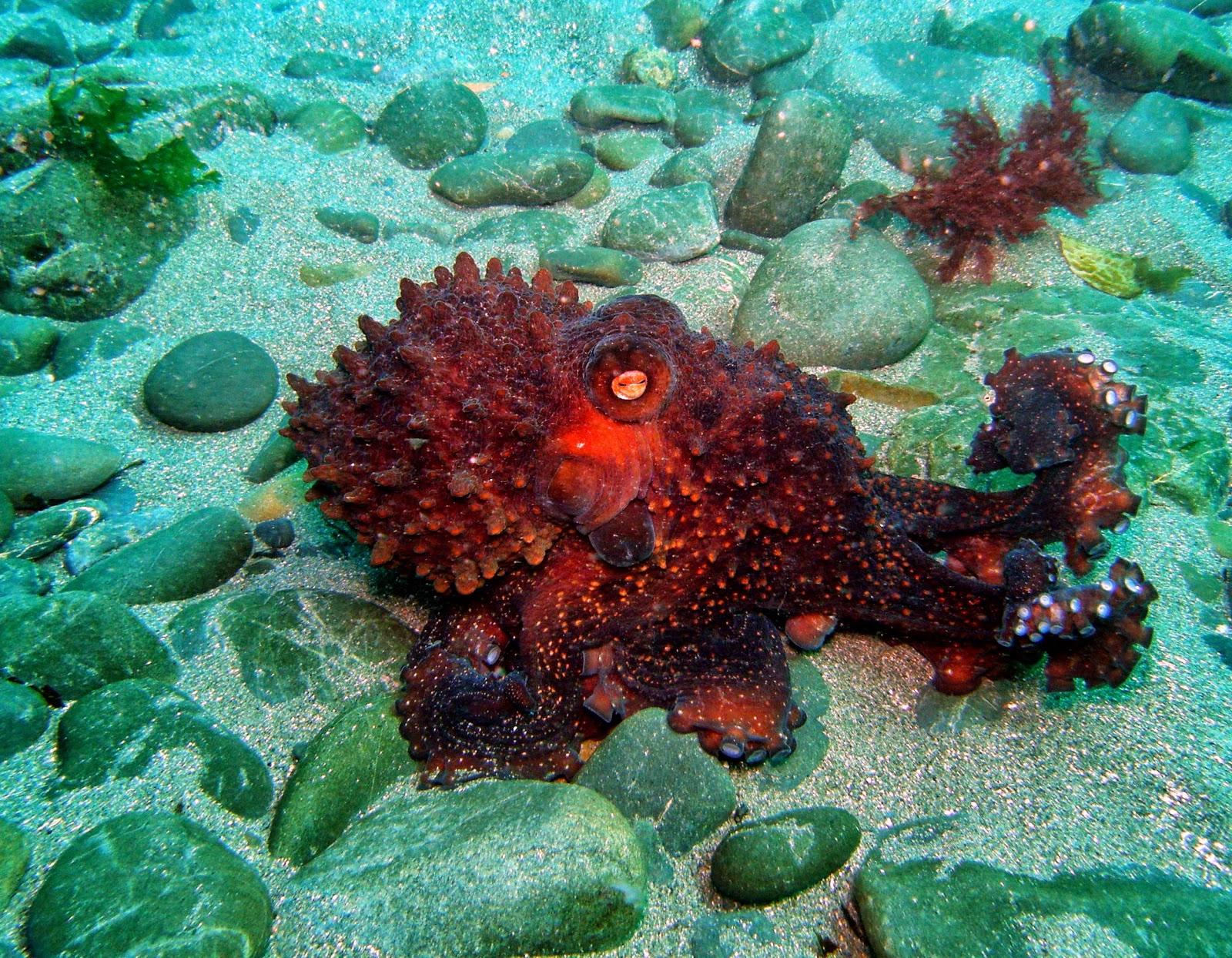 Octopus Hd Wallpapers Earth Blog