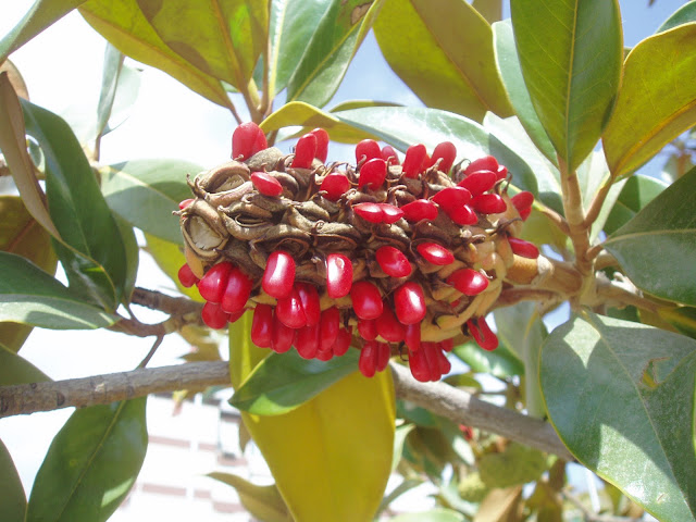 semillas-de-magnolio-magnolia-grandiflora