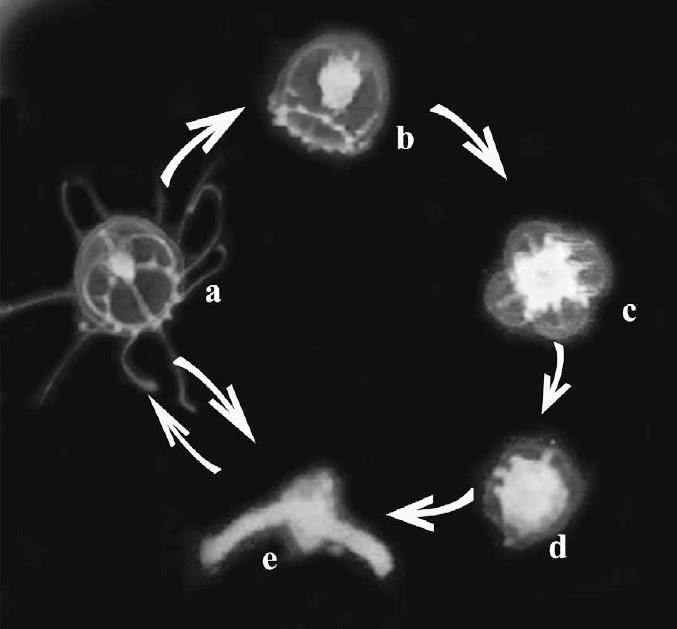 El ciclo de vida de la medusa inmortal