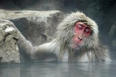 Monyet Jepang Macaca fuscata hewan khas Jepang - berbagaireviews.com