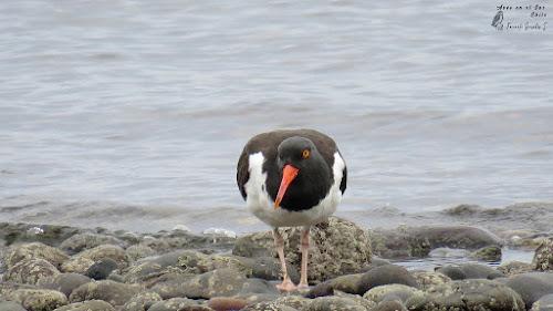 Pilpilén (Haematopus palliatus). Costanera de Puerto Montt.
