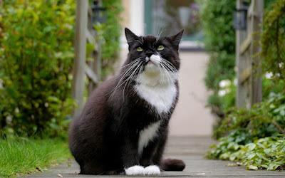 Leyenda celta del gato blanco y negro