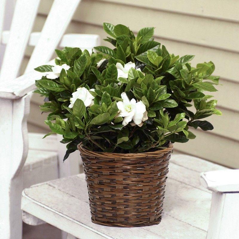 الجاردينيا نبتة جميلة تعيش في كل الظروف المنزلية