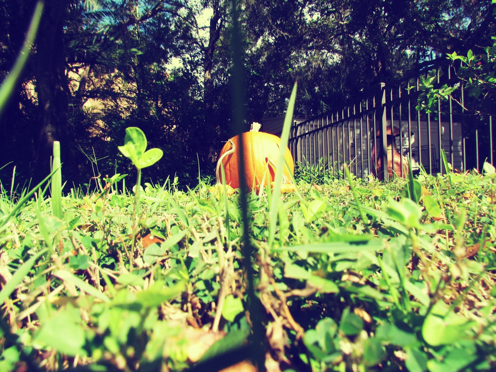 Pumpkin Patch in a Florida Backyard in tall blades of grass with mushroom picking season