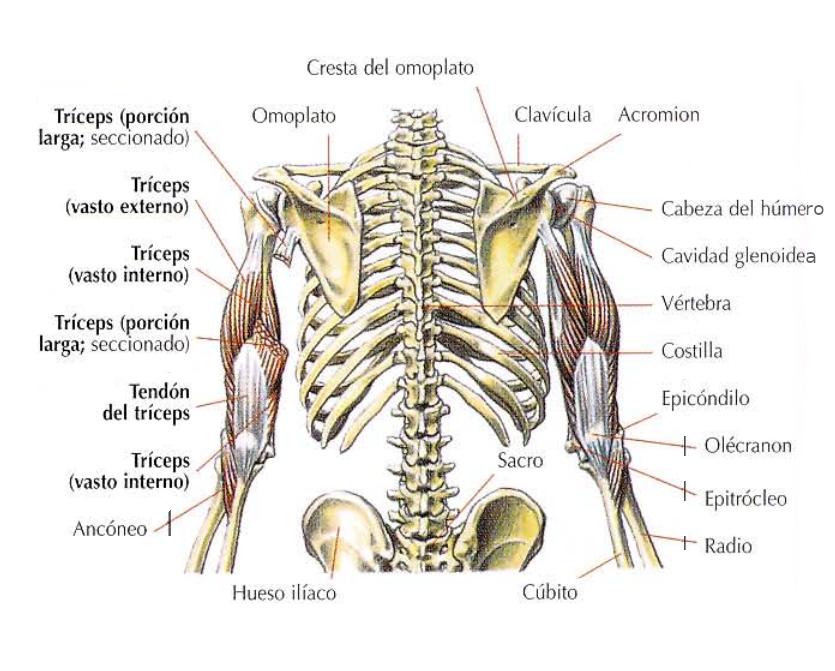 Vista anatómica del tríceps