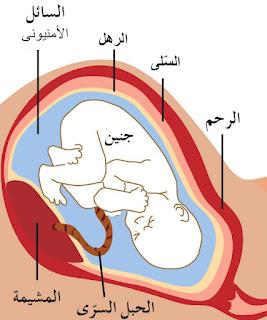 نمو الجنين داخل الرحم
