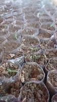 peluang usaha, usaha rumahan, jual bibit cabe, benih romario, cara menanam cabe, toko pertanian,toko online,lmga agro