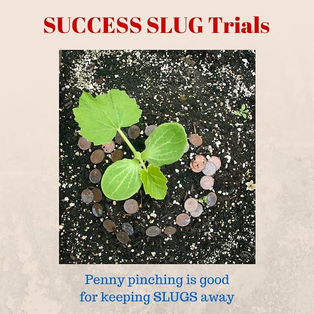 Slug repellent with pennies.