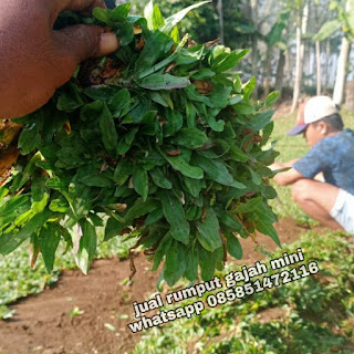 Suplay rumput gajah mini di PT Transindo Perkasa Prima di Rembang Jawa Tengah