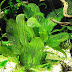 Recommended Plants For Aquariums – 16 Tubers And Rooters