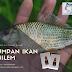 Resep Jitu Umpan Ikan Nilem Paling Galak MANTAP!