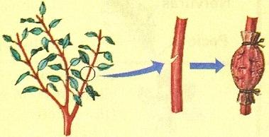 Técnicas de Enxerto ou Enxertia
