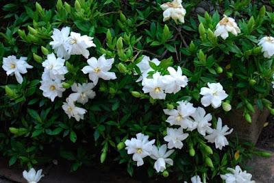 Jasa Tukang Taman Tuban tanaman hias bunga pecahpiring
